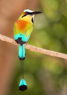 Turquoise-Browed Motmot --  It inhabits Central America from south-east Mexico (mostly the Yucatán Peninsula), to Costa Rica.
