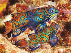 small, brightly-colored Mandarinfish or Mandarin dragonet
