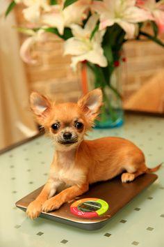 Awww cute ... Mes petites Chihuahua