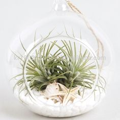 "Air Plants Tillandsia Diy Terrarium Kit "" White Sand Beach "" By Joinflower Photo… - Roman. Diy Terrarium Kit, Hanging Glass Terrarium, Air Plant Terrarium, Hanging Plants, Terrariums, Succulent Planters, Bedroom Plants, Plant Rooms, Sand Crafts"