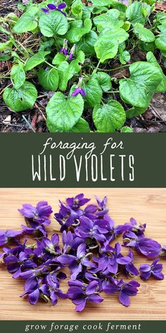 Foraging for Wild Violets Wild violets are both edible and medicinal and come up in the late winter or early spring. Foraging for wild violets is easy as they grow almost everywhere! Healing Herbs, Medicinal Plants, Edible Wild Plants, Wild Edibles, Edible Flowers, Edible Garden, Kraut, Herbal Medicine, Planting Flowers