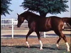 *Muscat. Foaled April 15, 1971. Bred by Tersk Stud, Russia. Imported to US by Howard F. Kale. *Muscat is one of the most famous Arabian stallions that has ever lived. He is the 4th leading producer of Arabians all-time, and is considered the leading progenitor of the Naseem sire line.  Aragon, 2 lines.