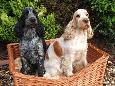 Blue Roan and Orange Roan Cocker Spaniels