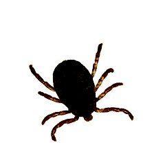 De som spenderar en stor del av sommaren på landsbygden vet hur ettriga fästingar kan vara, och dessutom kan de sprida smitta som TBE och borrelia. Men med enkla medel kan du hålla dessa små parasiter på avstånd.