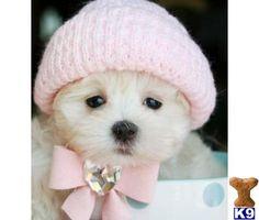 Pretty in Pink--Maltese Puppy.