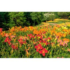Visit the Gardens and experience the Daylilies which are beginning to flower now! 300,000 flowers and over 500 varieties. Purchase some to take home for your own garden. Open from 9 am to 5 pm, the entry gates close at 4 pm.  Gibbs Gardens in Ball Ground, Georgia.  #landscaping #gardening #Georgia #exploregeorgia #outdoors #parks #leisure #hiking #pickensprogress #flowers #nature #naturephotography #northgeorgia #discoveratl #discovergeorgia #discoverglobe #gibbslandscape #gibbslandscaping…