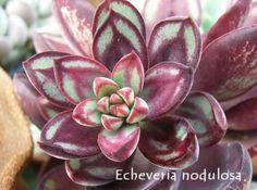 Echeveria on Pinterest | Succulent Plants, Succulents and Drought ...