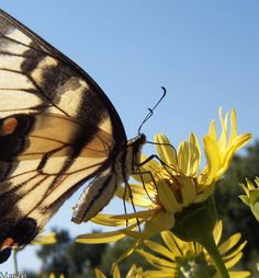 Google Image Result for http://www.cirrusimage.com/butterfly/tiger_swallowtail_01.jpg