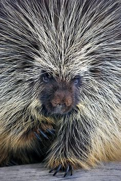 Porcupine Nails and Quills. Wow. They must be rare. I've never seen one. Don't hug...