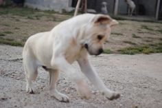 Straw Cane corso in Maxima lux kennel. Cane Corso Kennel, Cane Corso Breeders, Cane Corso Dog, Cane Corso Puppies, Kane Korso, Puppy Kennel, Puppies For Sale, Baby Animals, Labrador Retriever