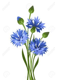 Bouquet Of Blue Cornflowers Vector Illustration Royalty Free ...