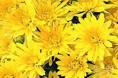 Yellow Chrysanthemums Photograph - Yellow Chrysanthemum Cluster by Regina Geoghan Beautiful Images, Beautiful Flowers, Yellow Artwork, Yellow Chrysanthemum, Types Of Flowers, Fall Flowers, Any Images, Daffodils, Flower Art