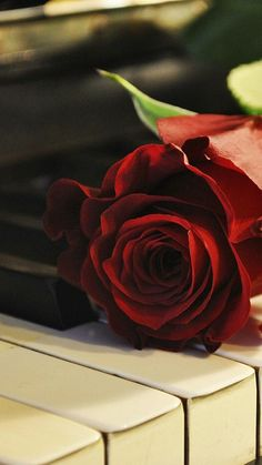 Red Rose and Piano Wallpaper Beautiful Rose Photos, Beautiful Flowers Wallpapers, Beautiful Rose Flowers, Beautiful Nature Wallpaper, Purple Flowers Wallpaper, Flower Phone Wallpaper, Red Wallpaper, Book Flowers, Flowers Nature