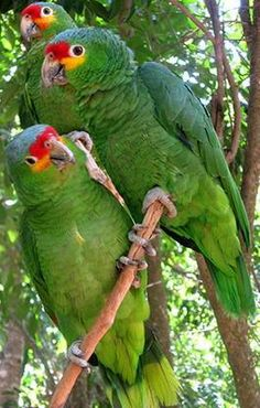 parrots of the world images | there is a large number of species of amazon parrots double yellow ...