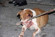 Image detail for -Bangkok: Abused dog mauls owner's killer - TeakDoor.com - The Thailand ...
