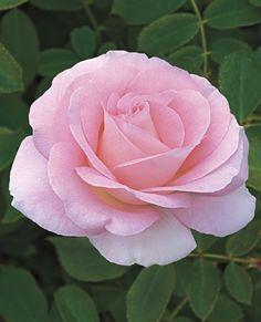 Falling in Love™ Hybrid Tea Rose Love Rose, My Flower, Pretty Flowers, Pink Flowers, Paper Flowers, David Austin Rosen, Ronsard Rose, Heirloom Roses, Hybrid Tea Roses