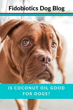 Is Coconut Oil good for dogs? We get down to the nitty gritty of Coconut Oil and explore it's health benefits for dogs - also a Coconut Oil Bath Guide!!!  #DogSupplements #Fidobiotics #Probiotics #RawFed