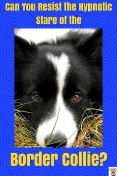 Border Collie Meet the world's smartest Dog! The Border Collie! Border Collie Colors, Border Collie Pictures, Collie Dog, Border Collie Humor, What Kind Of Dog, Herding Dogs, Kinds Of Dogs, Dogs Of The World, Pitbull Terrier