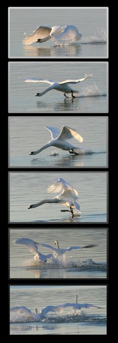 swan#water#Balaton, Hungary