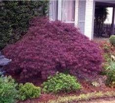 Crimson Queen Laceleaf Weeping Japanese Maple: Gardenista