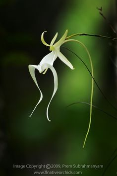 """fuckyeahorchidspecies: """" As a leafless orchid, Dendrophyllax lindenii instead photosynthesizes with its roots. It is a rare native of the swamps of southern Flordia. Photographed in situ by Prem. Ghost Orchid, Florida Native Plants, Belle Plante, Orchid Arrangements, Liquid Fertilizer, Orchid Care, All Plants, Garden Plants, Potting Soil"""