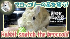 ブロッコリーの茎を奪う!【ウサギのだいだい 】 Rabbit snatch the broccoli! 2016年3月28日