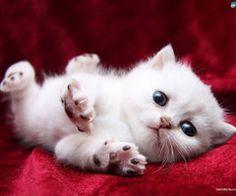 Cats white kiten