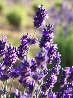 Incredible <3<3, Share if u ADORE lavender #aromatherapy