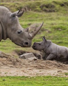 It's a Wild, Wild World -  Double horn species of Rhino and baby With Rhino horn worth more than gold as a mythical asian aphrodisiac there is a war being fought in preserves for their existence and we are losing. One preserve went from 60 to 6.