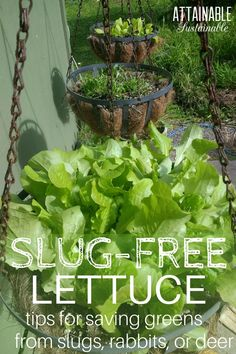 Garden Planning Growing lettuce in containers — specifically hanging containers — is a great way to keep pests at bay. Try altering your vegetable garden plans to deter slugs, snails, rabbits, and deer from devouring your salad greens. Vegetable Garden Planner, Backyard Vegetable Gardens, Veg Garden, Garden Pests, Edible Garden, Garden Fertilizers, Potager Garden, Garden Types, Fruit Garden