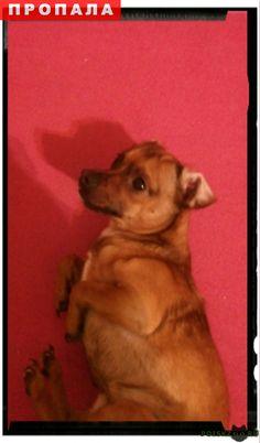Пропала собака кобель г.Омск http://poiskzoo.ru/board/read28540.html  POISKZOO.RU/28540 карликовый пинчер без ошейника окрас рыжи на шее белое болеет эпилепсией. найденому возногрождение  РЕПОСТ! @POISKZOO2 #POISKZOO.RU #Пропала #собака #Пропала_собака #ПропалаСобака #Омск