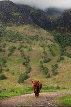 Coo on a stroll through Glen Nevis, Highlands
