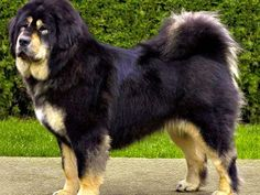 MASTINO TIBETANO (Tibetan mastiff )