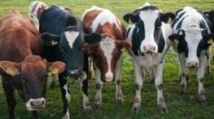 All cattle are descended from as few as 80 animals that were domesticated from wild ox in the Near East some 10,500 years ago, according to a new genetic study.