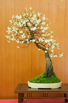 """In bonsai growing, the slanting style is one of several styles that are used to shape and """"train"""" the bonsai tree. Flowering Bonsai Tree, Bonsai Plants, Bonsai Garden, Bonsai Flowers, Succulents Garden, Air Plants, Cactus Plants, Mini Bonsai, Fruit Trees"""