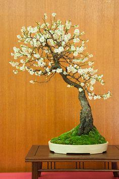 ~ Bonsai ~ Flowering White Apricot ~