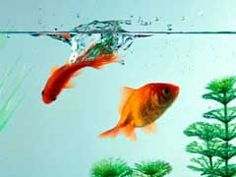 7 Facts To Know About Goldfish Tank