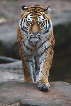 New male wallpaper white lock screen ideas, tiger # male … - tattoos sleeve Beautiful Cats, Animals Beautiful, Cute Animals, Tiger Pictures, Animal Pictures, Tiger Fotografie, Big Cats, Cute Cats, Tiger Art