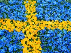 Spring Flowers form the Swedish flag Pro Nails, Welcome To Sweden, Kingdom Of Sweden, Sweden Flag, About Sweden, Sweden Travel, Swedish Design, Swedish Style, Scandinavian Living