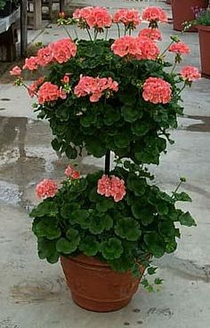 Geranium Topiaries