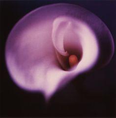 purple arum lily - Pesquisa Google