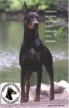 Doberman Pinscher.png (490×767) (Cane Corso Boxer Mix) #DobermanPinscher