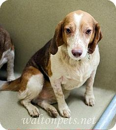 Atlanta, GA - Beagle. Meet Rusty, a dog for adoption. http://www.adoptapet.com/pet/16337618-atlanta-georgia-beagle
