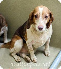 Atlanta, GA - Beagle. Meet Rusty, a dog for adoption. http://www.adoptapet.com/pet/16337618-atlanta-georgia-beagle
