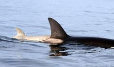 A white killer whale calf was spotted in December 2009 with its mother near the Victoria, B. Victoria Bc Canada, Dolphin Family, Vancouver Aquarium, Apex Predator, Animal Species, Killer Whales, Ocean Life, Marine Life, Under The Sea