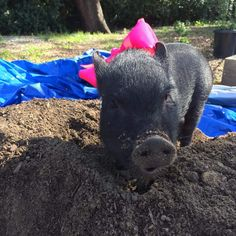 Looking for Enrichment Activities For A Bored Pig? Read our article on American Mini Pig Association Happy Animals, Zoo Animals, Cute Animals, That Will Do Pig, Juliana Pigs, Kune Kune Pigs, Cute Piglets, Pot Belly Pigs, Small Pigs