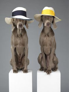 """WILLIAM WEGMAN FOR ACNE - PHOTOGRAPHY - """"Weimaraner are the perfect breed of dog for William Wegman's stoic photographs of Swedish brand Acne's accessories. The velvety texture of their fur over muscle creates an interesting and slightly uncomfortable anthropomorphic perspective that is reminiscent of retirees on vacation."""""""