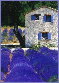 """Provence lavendar........THE """"PERSOUSKIES"""" BUILT THIS STONE HOUSE.......WE PASS IT WHEN WE PLOD  DOWN TO OUR PURPLE GARDEN PLOT.....THEY ARE NOT THE MOST FRIENDLY .......STILL HAVEN'T INVITED US IN FOR TEA AND PUMPKIN PIE.....I DO BELIEVE SHE IS A TAD ENVIOUS  BECAUSE MY PURPLE LAVENDER IS LOTS PLUSHER THAN THE PUNY PLOT THEY PRESENT HERE….(OF COURSE YOU REALIZE I AM JUST SUPER JEALOUS)……ccp"""