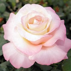 Crescendo Hybrid Tea Rose
