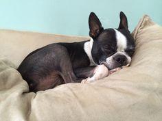 8 year old puppy... Boston Terrier Beau Man